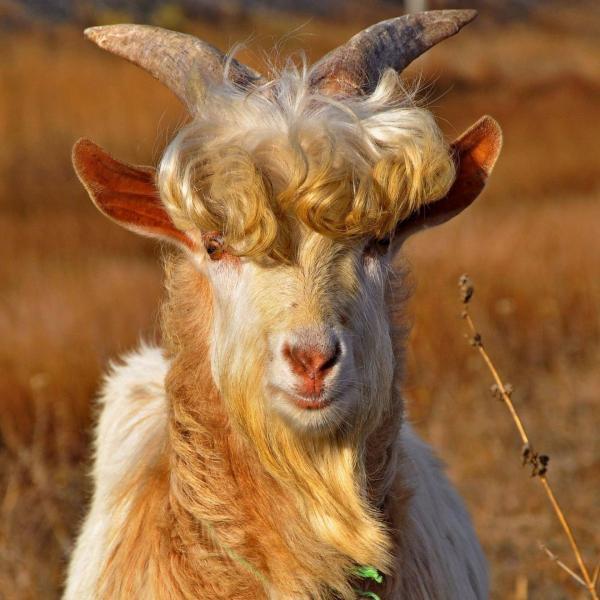 Картинки по запросу красивый козел